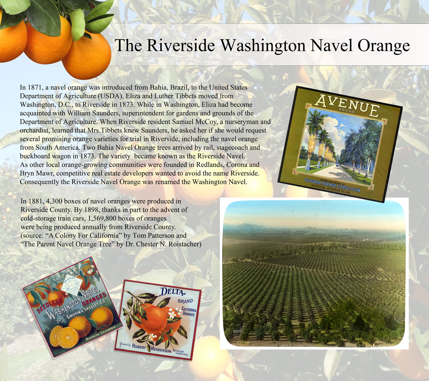 Riverside Washington Navel Orange